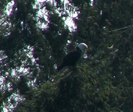 Eagle_closeup